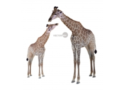 长颈鹿和幼崽图片