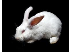 可爱的白兔