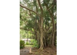 古老的树木与住房图片