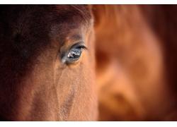 棕色马眼睛