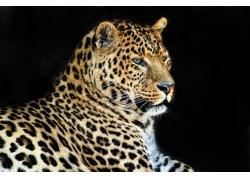 黑色背景下的猎豹