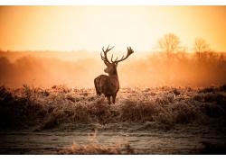 一只红鹿摄影