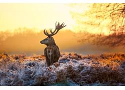 一只驯鹿摄影