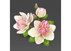 白色鸢尾花