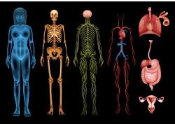 彩色人体结构