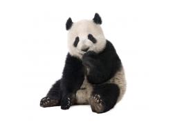 坐着的大熊猫