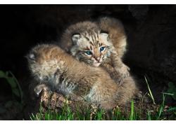 拥抱的山猫图片