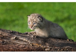 小山猫摄影图片
