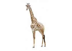 站着的长颈鹿