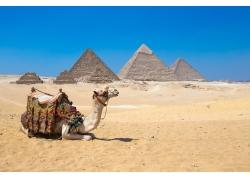 沙漠中的骆驼金字塔摄影