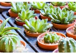 多肉植物摄影图