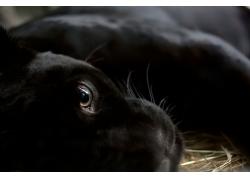 躺着的黑豹子