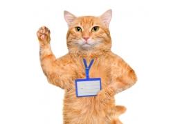 戴工作牌的猫咪