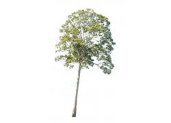白色背景树木素材图