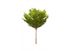单株树木素材图