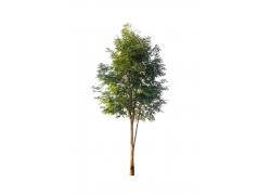 单株茂盛树木素材图