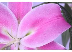 百合花上的水珠