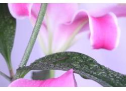 清晨的百合花