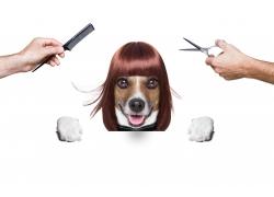 美发造型的小狗