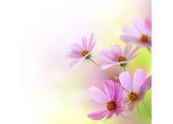 美丽的扫帚梅花朵