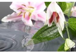 水面上的百合花