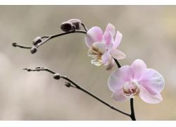 粉色兰花摄影