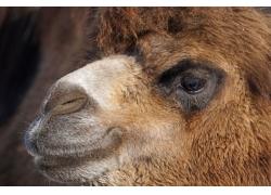 骆驼嘴巴眼睛背景