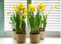 四盆水仙花