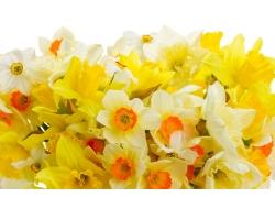 白黄色水仙花