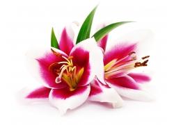 鲜艳的百合花