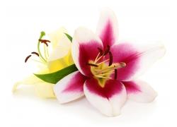 粉色的百合花