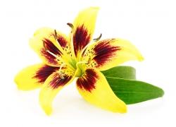 绽放的百合花
