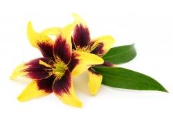 黄色的百合花