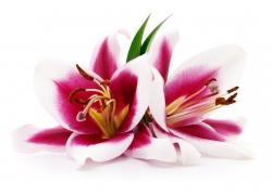 盛开的百合花