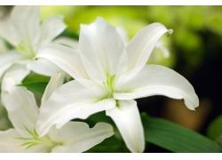 美丽的白色百合花