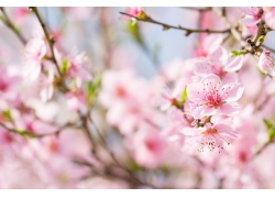 树上的桃花