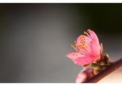 高清桃花摄影