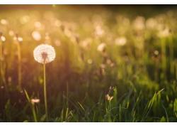 草地上的蒲公英