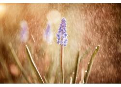 雨中的薰衣草