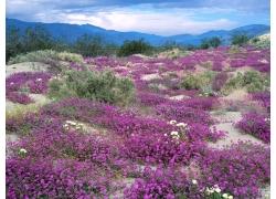 紫色鲜花摄影