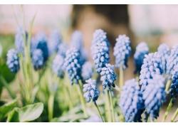 薰衣草花卉摄影