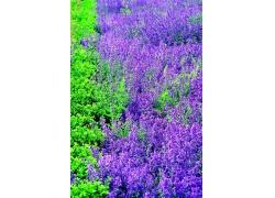 紫色鲜花风景