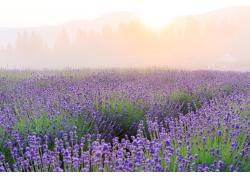 雾茫茫的花海