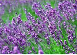紫色花丛风景