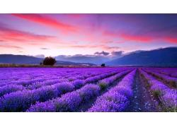 紫色花海风景