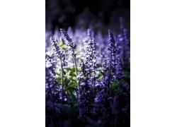 紫色薰衣草风景