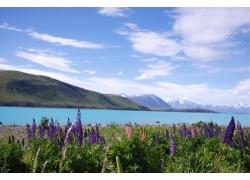 湖边的薰衣草