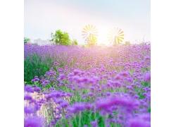 绽放的薰衣草花丛