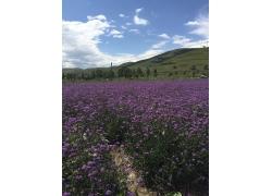 紫色的薰衣草
