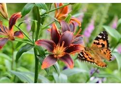 红色百合花与蝴蝶